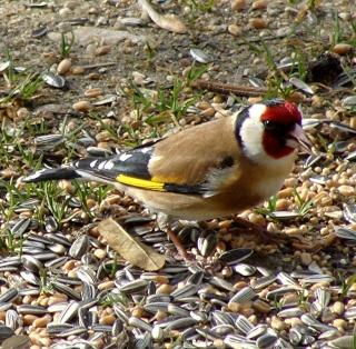 Les oiseaux du jardin (28 espèces d'oiseaux observées pour vous) 10-3-210