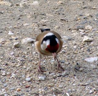 Les oiseaux du jardin (28 espèces d'oiseaux observées pour vous) 10-3-211