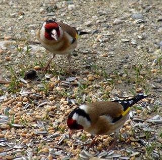 Les oiseaux du jardin (28 espèces d'oiseaux observées pour vous) 10-3-212