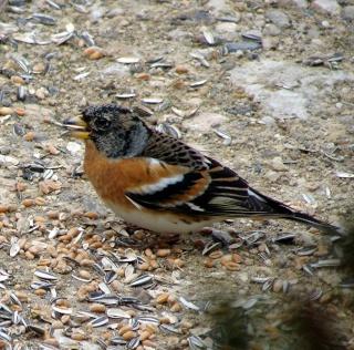 Les oiseaux du jardin (28 espèces d'oiseaux observées pour vous) 20-2-210
