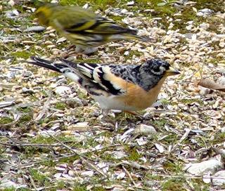Les oiseaux du jardin (28 espèces d'oiseaux observées pour vous) Dsc06110