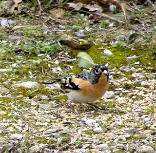 Les oiseaux du jardin (28 espèces d'oiseaux observées pour vous) Dsc06112