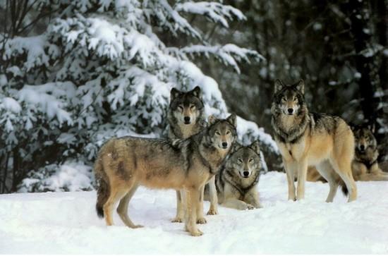 meute de loup mammifère Russie zoologie 400 individus Verkhoyansk massacre chevaux forum