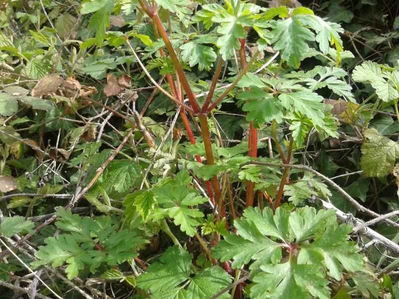 Géranium herbe à robert / Geranium robertianum 20130413