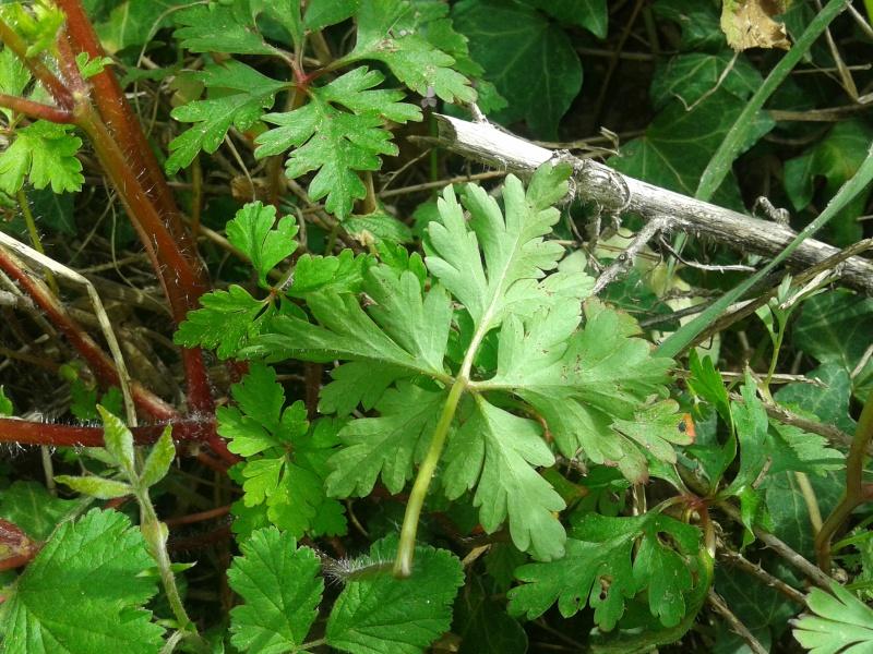 Géranium herbe à robert / Geranium robertianum 20130414