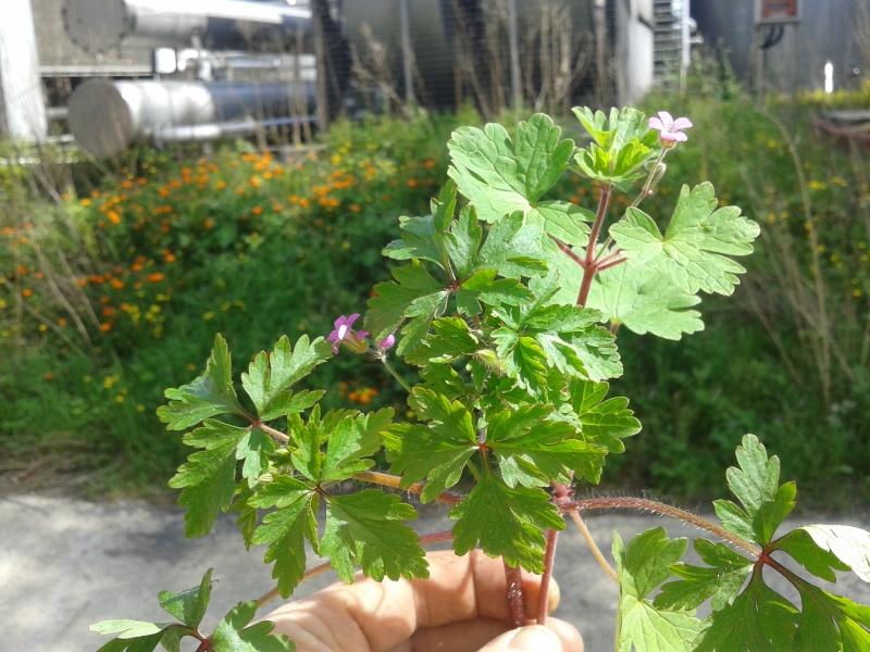 Plantes avec de petites fleurs roses (Hérault 24) (Géraniums) 20130416