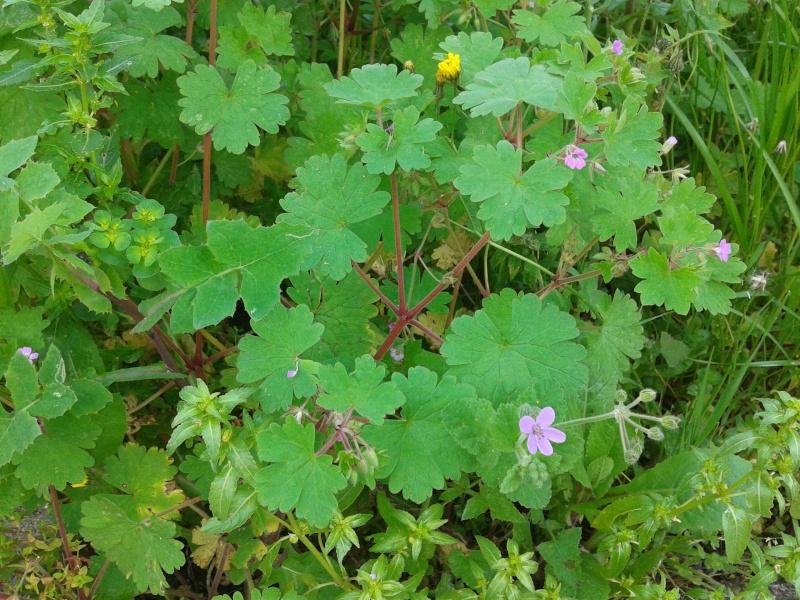 Plantes avec de petites fleurs roses (Hérault 24) (Géraniums) 20130419