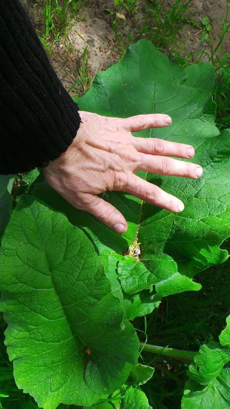 Enormes feuilles au bord de.... l'Hérault (28) ( grande bardane) 20130428
