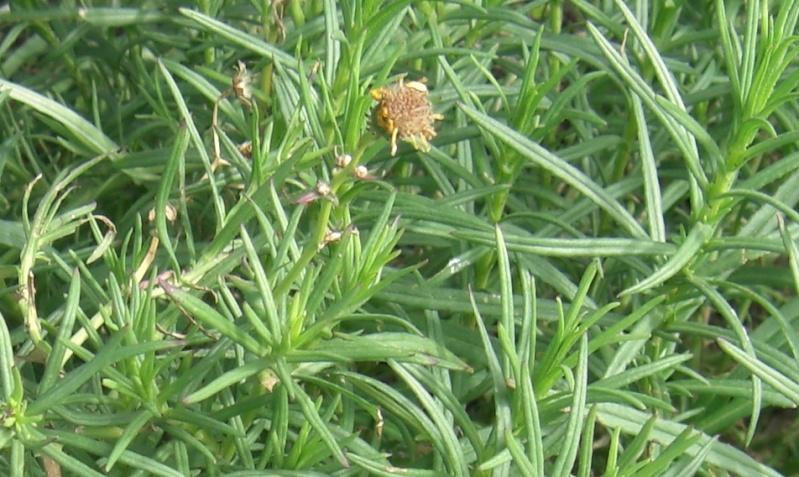 Plante de l'Hérault.2 Cimg1413