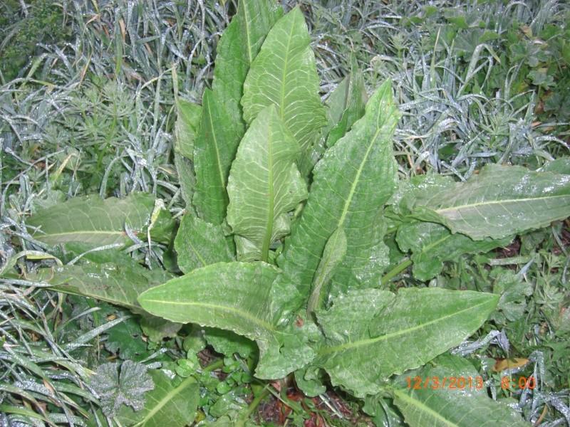 Plante de l'Hérault.3 (rumex) Cimg1510