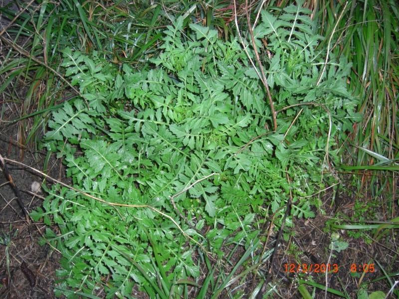 Plante de l'Hérault. Sisynbrium ? Cimg1511