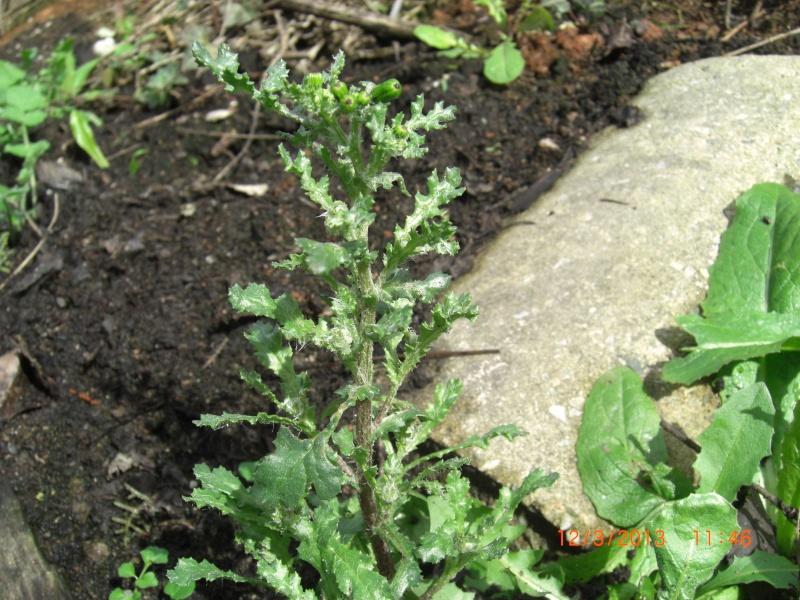 Séneçon commun / Senecio vulgaris Cimg1612