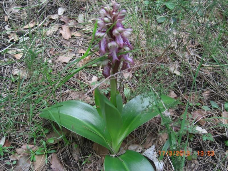 Plante de l'Hérault.13 (orchidée sauvage) Cimg1613