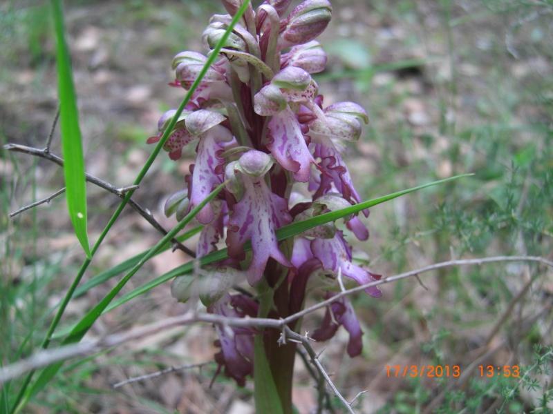 Plante de l'Hérault.13 (orchidée sauvage) Cimg1614