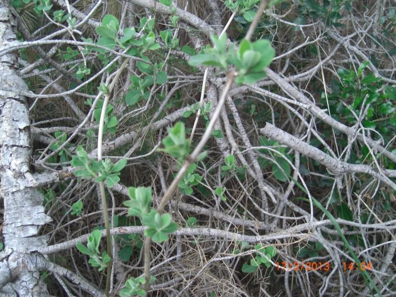Petite liane ? (hérault 17) (chèvrefeuille) Cimg1625