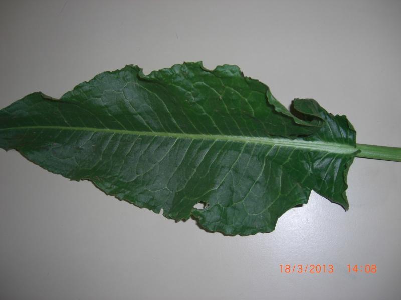 Plante de l'Hérault.3 (rumex) Cimg1710