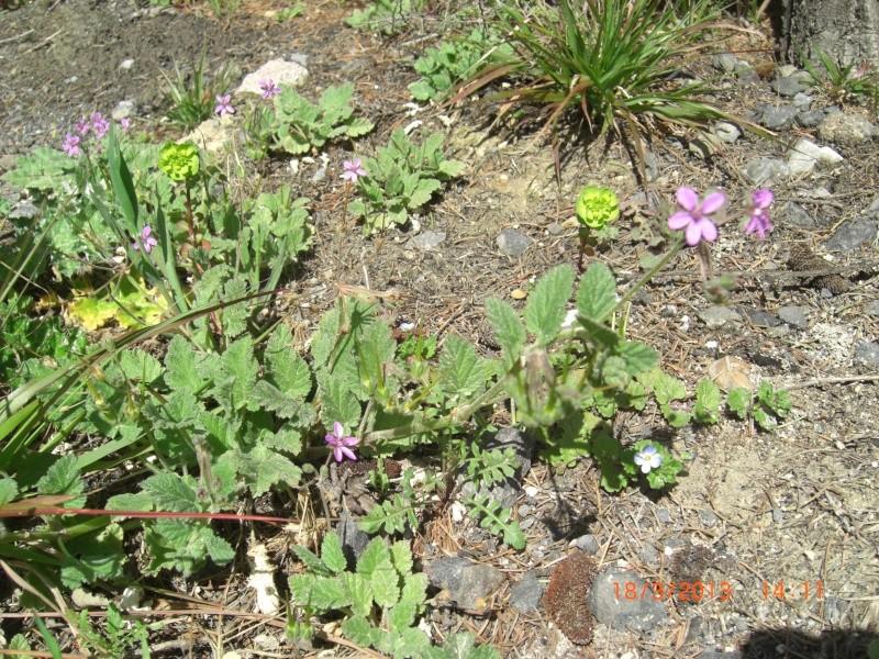 Bec-de-grue à feuilles de mauve / Erodium malacoides Cimg1714