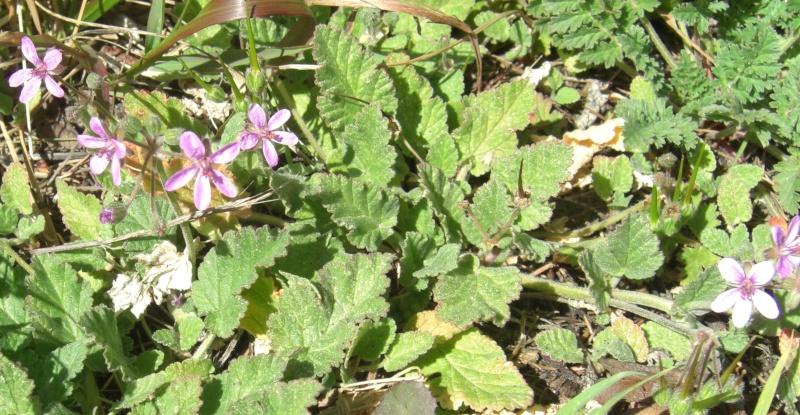 Bec-de-grue à feuilles de mauve / Erodium malacoides Cimg1715