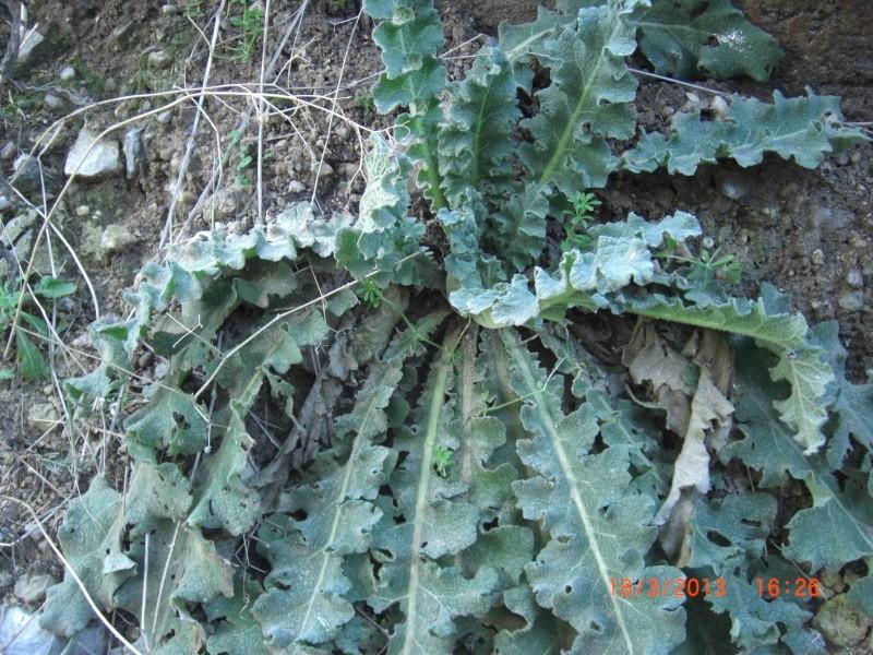 Molène à feuilles sinuées / Verbascum sinuatum Cimg1717