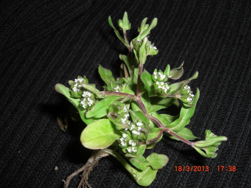Plante de l'Hérault.10  (mâche) Cimg1811