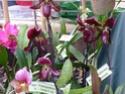 Passion orchidées à Nantes - 27 au 29 septembre 2013 P1010517