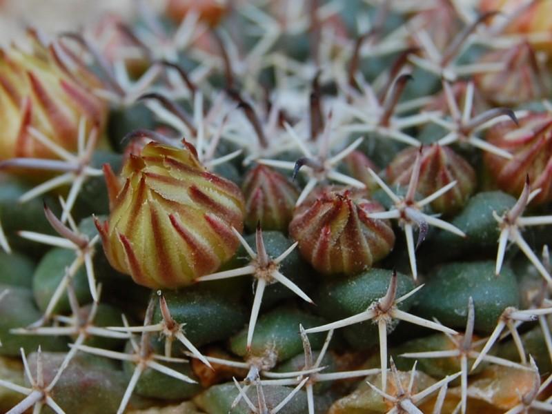 Mammillaria uncinata 3262-211
