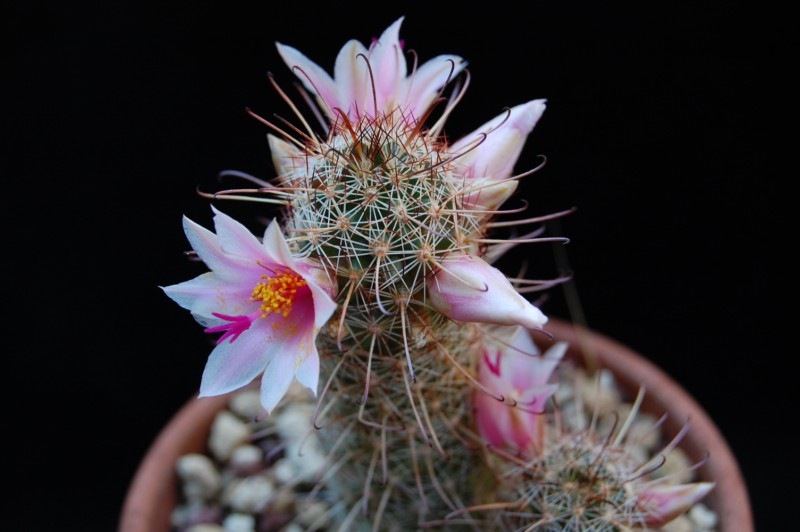 Mammillaria thornberi 3281-t10