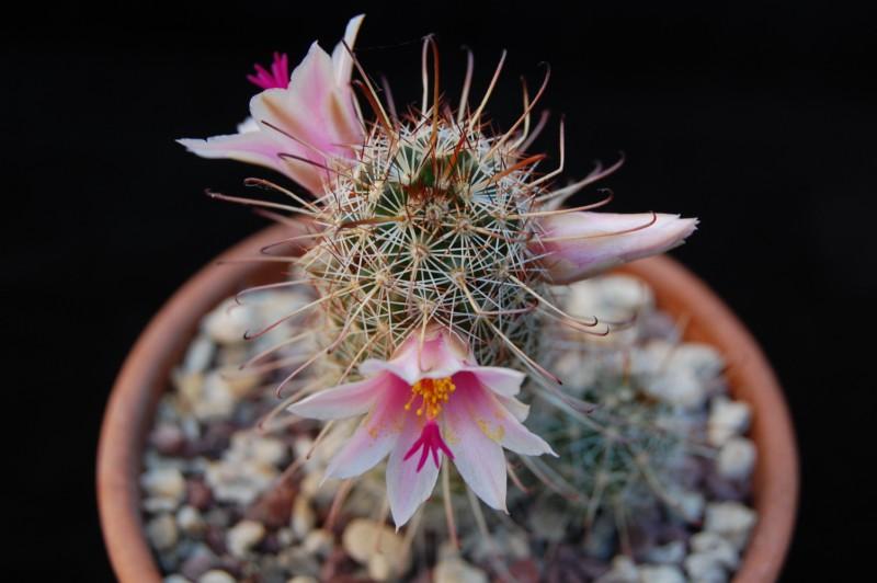 Mammillaria thornberi 3281-t11
