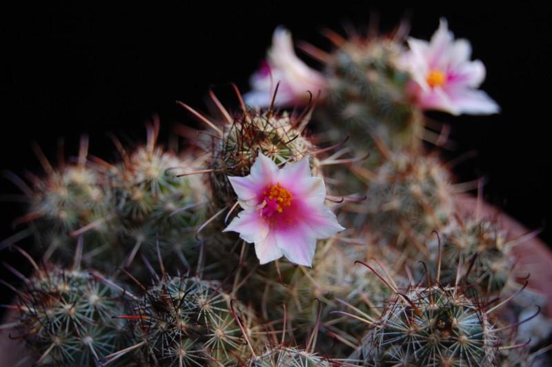 Mammillaria thornberi 3373-t10
