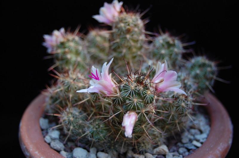 Mammillaria thornberi 3373-t11