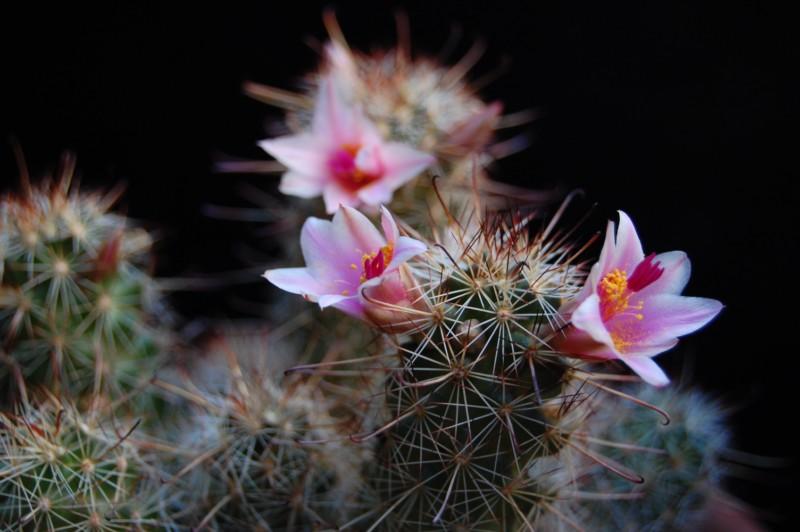 Mammillaria thornberi 4155-t10