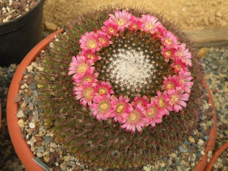 Mammillaria huajuapensis Huayua10