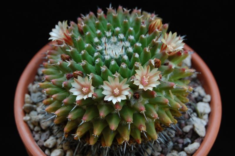 Mammillaria vagaspina Orb2_210