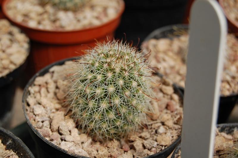 Mammillaria verhaertiana Verahe11