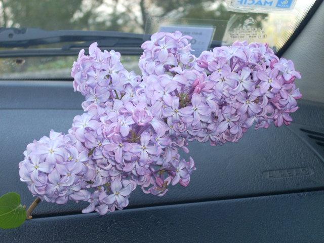 brin de lilas Dscn3510