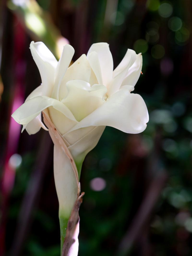 Rose de porcelaine... 27112010
