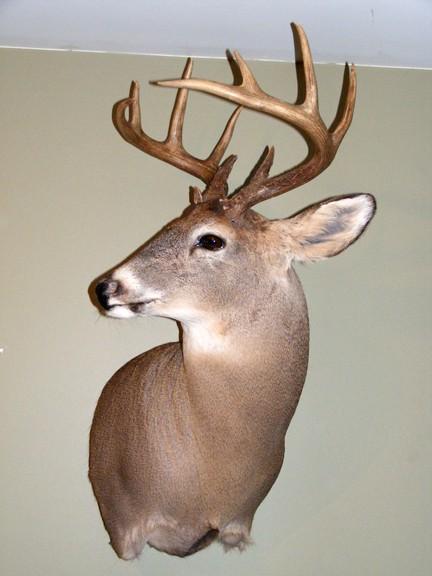 Mon premier Buck Dscf3115
