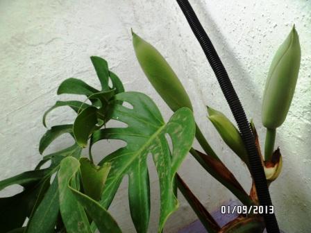 Philodendron-une plante facile à entretenir (variétés, floraison, fruit) 1011