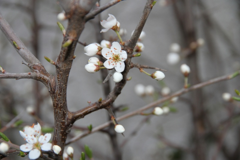 fiori di prunus spinosa Img_2014