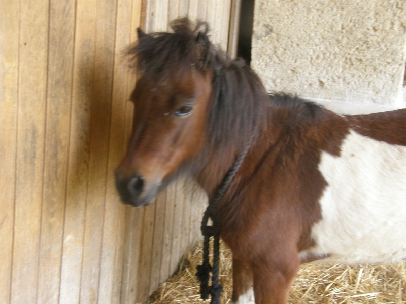 POLLY - ONC Poney Shetland née en 2004 - adoptée en mars 2013 par Moutarde - Page 2 Pollyp15