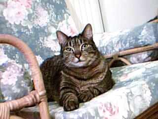 [RETOUR A L'ADOPTION] Flot, sublime chat tigré né en 2010 - CAMBRAI Flottt10