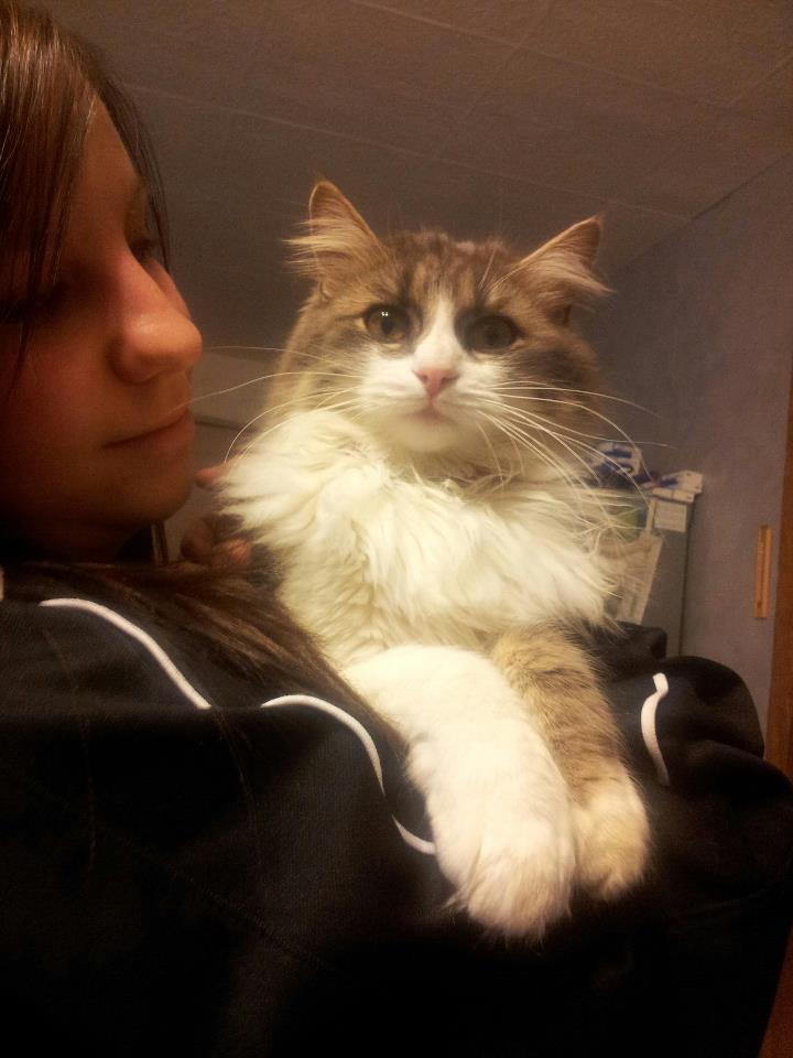 Hannah magnifique chaton à poils longs tigré et gris Hannah10