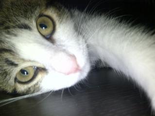 Heiko beau chaton tigré et blanc - BEUVRAGES Heiko10