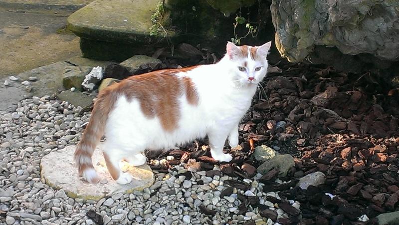 [ADOPTION] Caramel , chat roux et blanc, beau et câlin - SAINT AMAND LES EAUX Imag2110