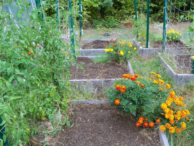 perennial shrubs or roses in SFG 09-26-10