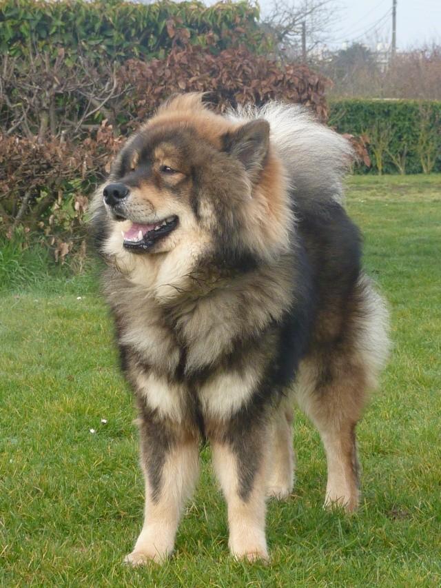 le plus beau chien du monde, mon poilu à moi! New tofsP2 P1060919
