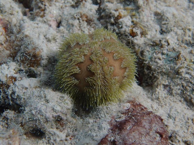 Camarodonta - Temnopleuridae - Microcyphus rousseaui L. Agassiz in L. Agassiz & Desor, 1846 P8104310
