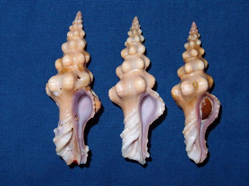 Nodolatirus robillardi - (Tapparone Canefri, 1879) P9174911