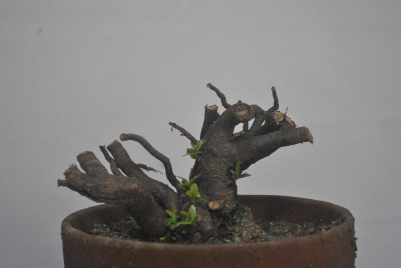 Roots as trunk Dsc_1020