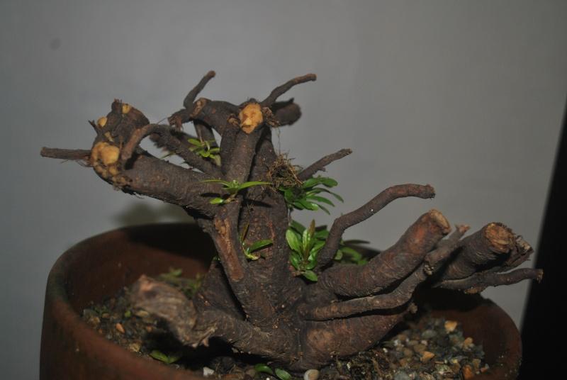 Roots as trunk Dsc_1221
